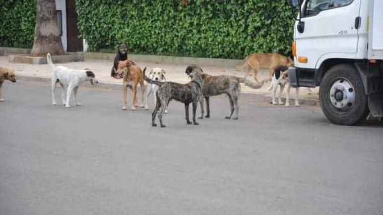 آسفي الكلاب الضالة وخطرها على صحة وسلامة المواطنين!!