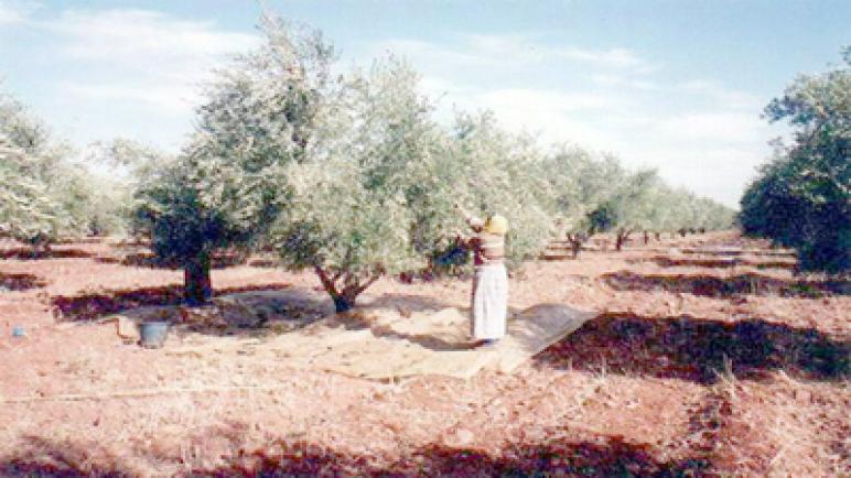 مراكش : الدعوة إلى تأهيل قطاع الزيتون.. مكافحة التلوث الناتج عنه بالجهة